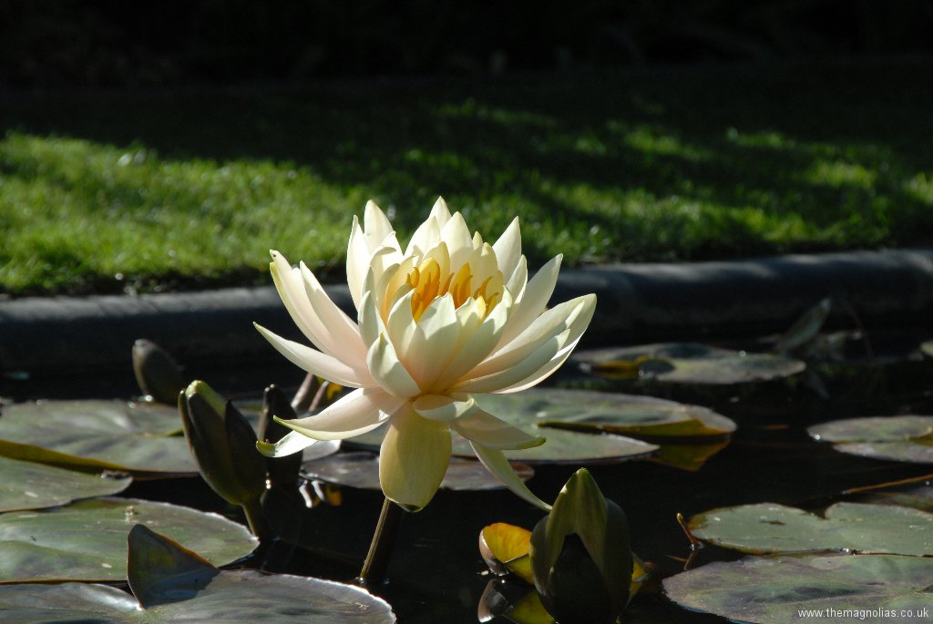 Nymphaea 'Innerlight'