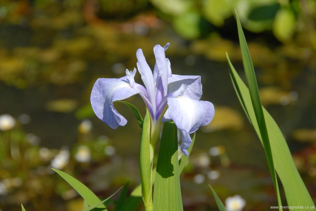 Iris laevigata 'Richard Greaney'