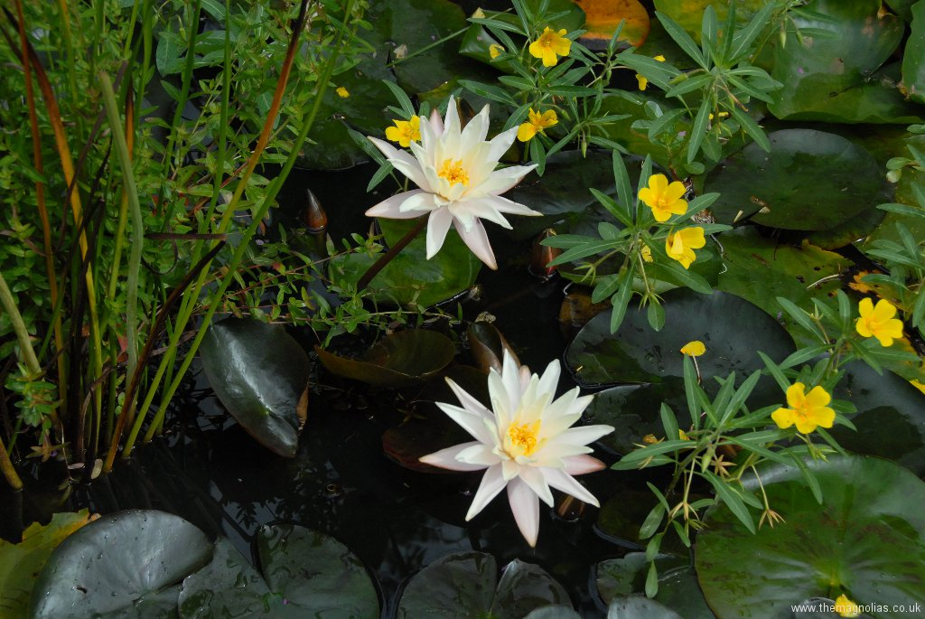 Nymphaea 'Starbright'