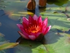 Nymphaea 'William Falconer'