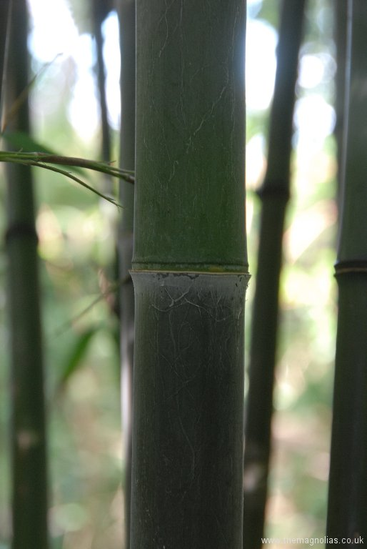 Phyllostachys nigra 'Punctata' new good sized cane