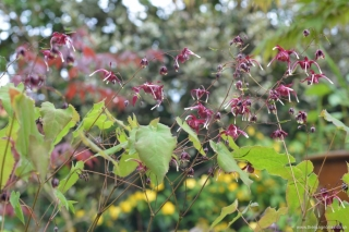 Epimedium 'Red Maximum'