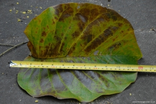 Giant Magnolia Leaf