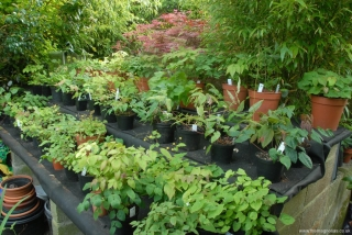 Epimedium Pot Display Area