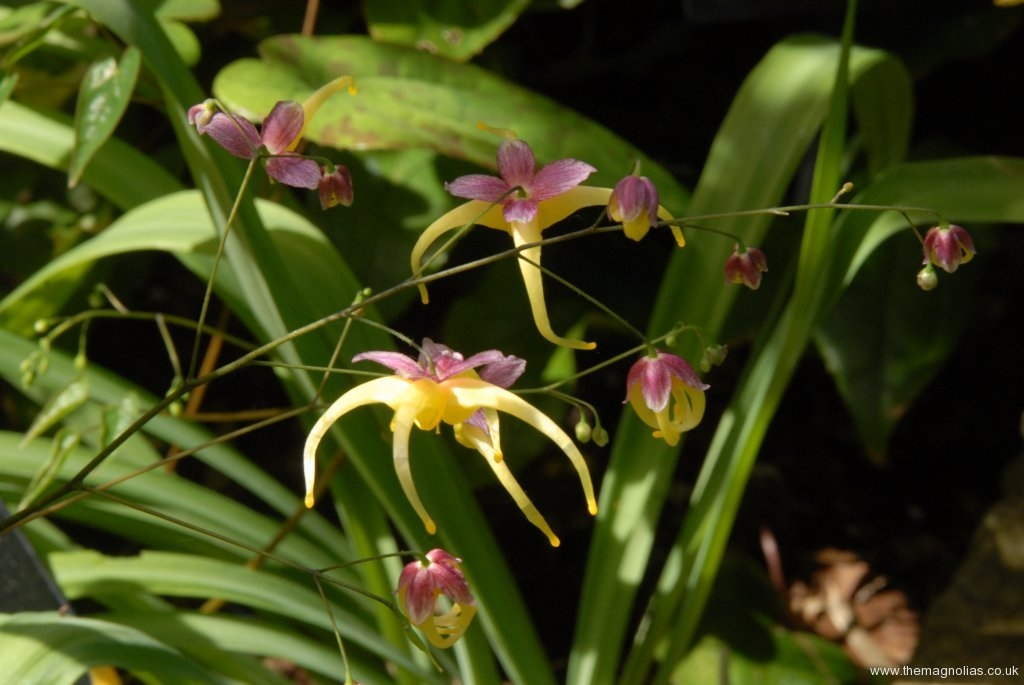 Epimedium 'Space Wagon'