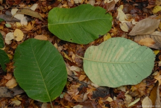 Magnolia sargentiana robusta leaves over a foot long