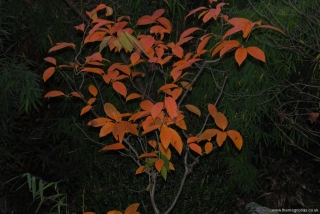 Nyssa sinensis (flash)