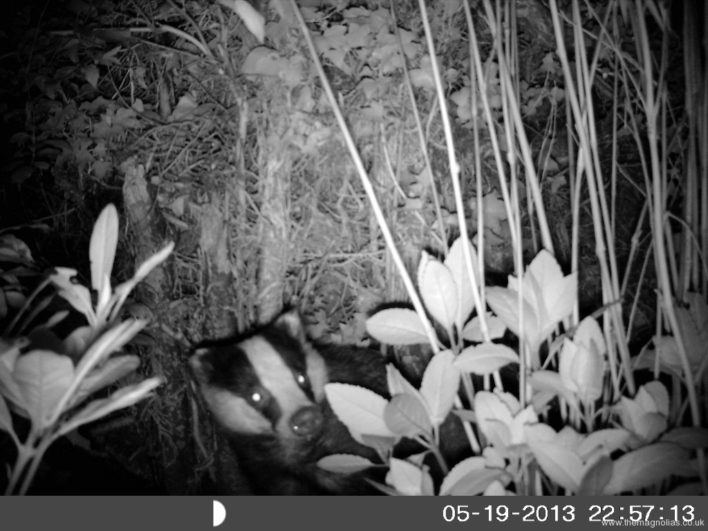 'Outback Cam' Picture of a Badger