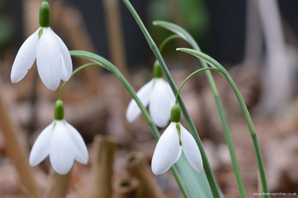 Galanthus 'Percy Picton'