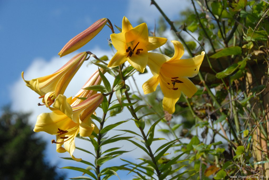 Lilium 'Golden Splendour'
