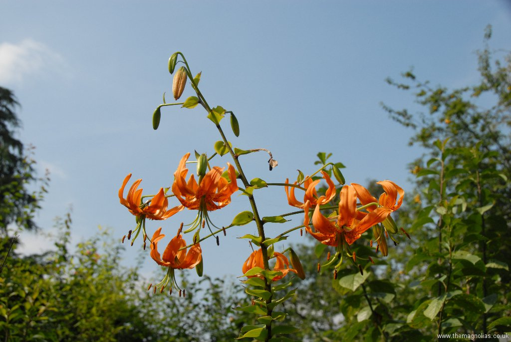 Lilium henryi - deeper orange form