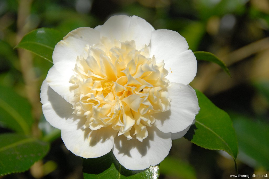 Camellia japonica 'Brushfields 'Yellow'