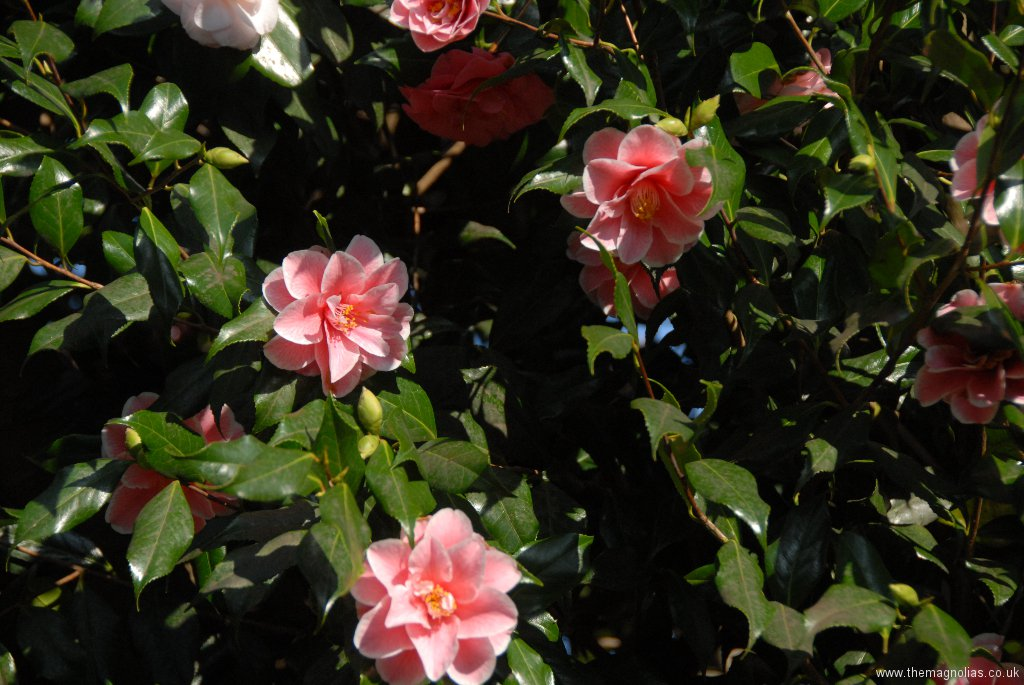 Camellia japonica \'Yours Truly\'?