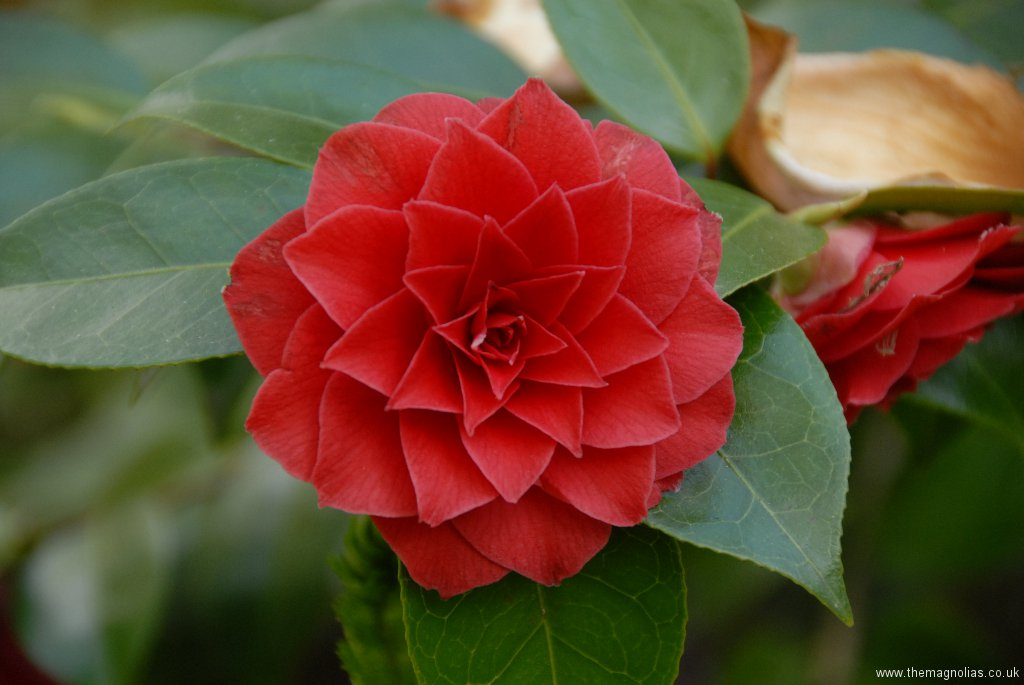 Camellia japonica double red cv.