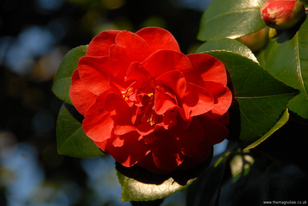 Camellia japonica 'Lady Campbell'