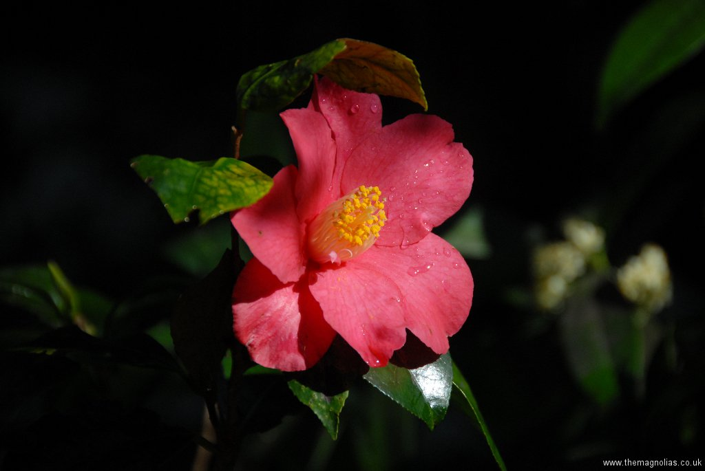 Camellia japonica \'Spring Promise\'