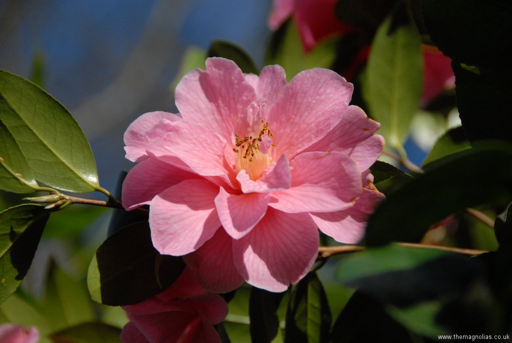 Camellia x williamsii \'Donation\'