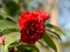 Camellia japonica cv. small double, dark red