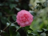 Camellia japonica formal double pink