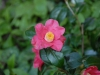 Camellia x williamsii \'Carolyn Williams\'