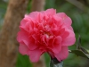 Camellia x williamsii \'Elegant Beauty\'