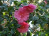 Camellia x williamsii \'Inspiration\'