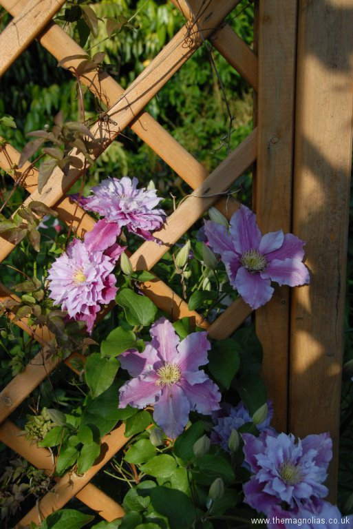 Clematis 'Piilu' on an Arch