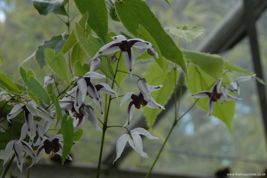 Epimedium Chinese unknown No 6