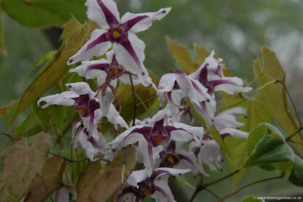 Epimedium Chinese unknown No, 7