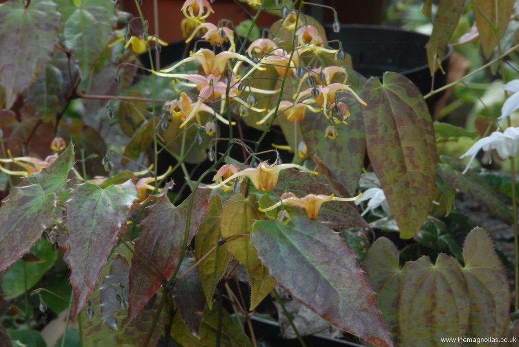 Epimedium 'Wildside Amber'