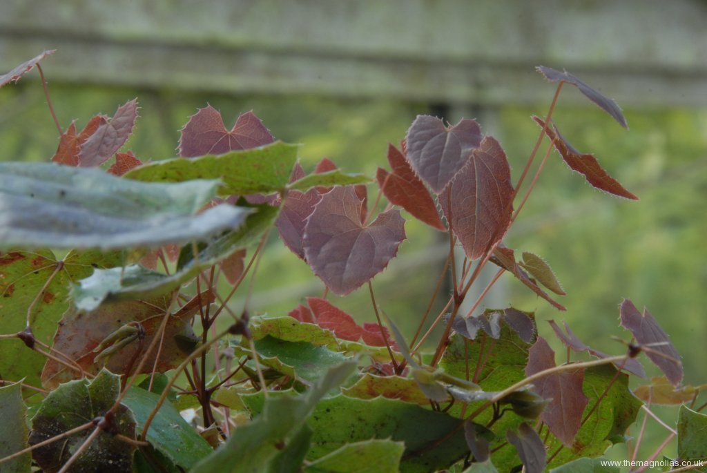 Epimedium 'Wildside Ruby'