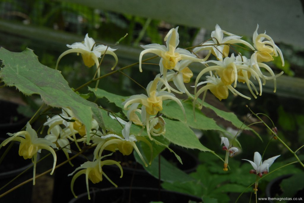 Epimedium noegi seriesi mr okomoto original