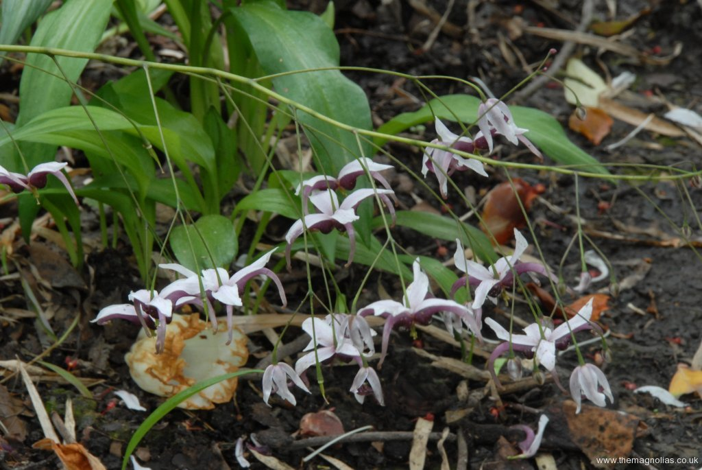 Epimedium x omeiense 'Myriad Years'