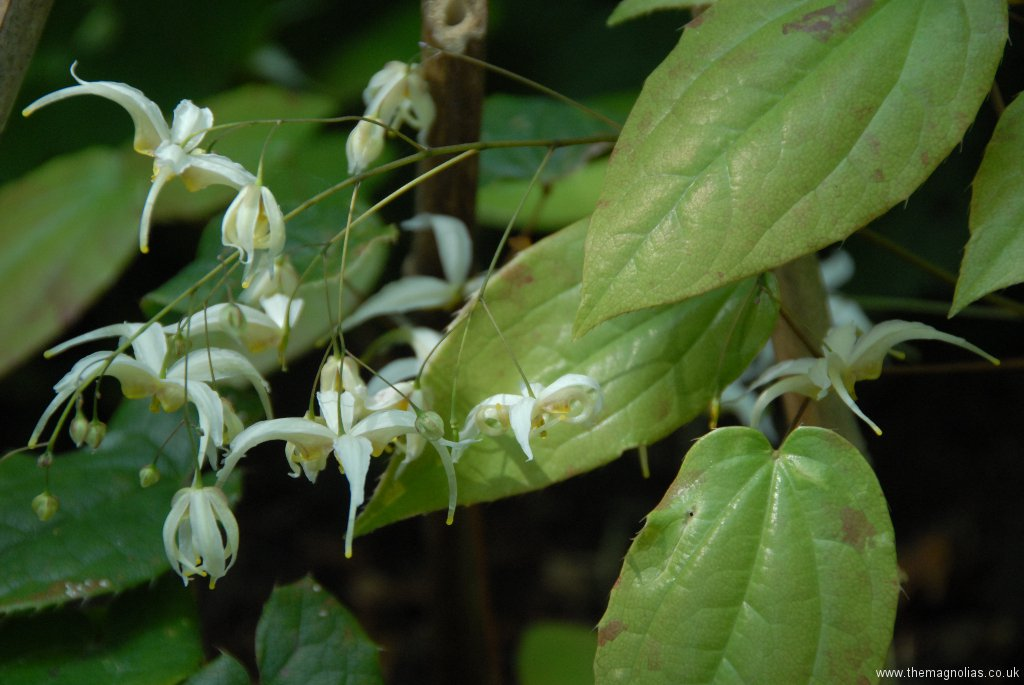 Epimedium acuminatum 'Galaxy'