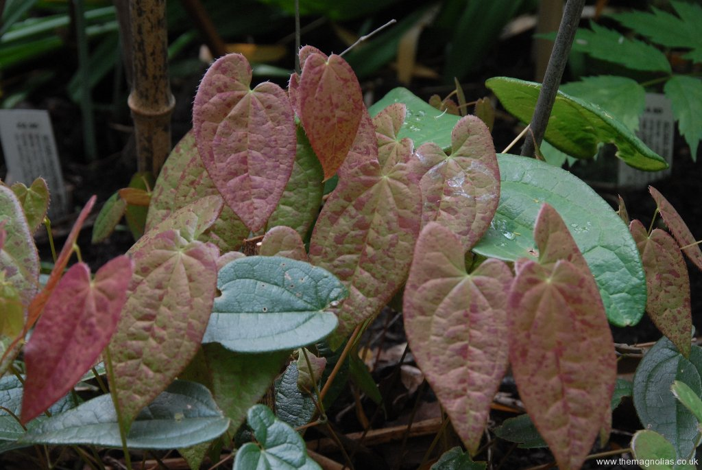 Epimedium 'Arctic Wings' new foliage