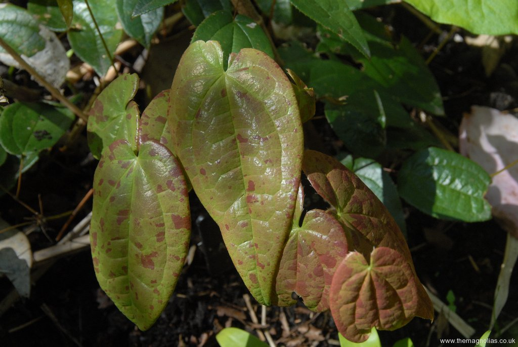 Epimedium 'Arctic Wings - new leaves