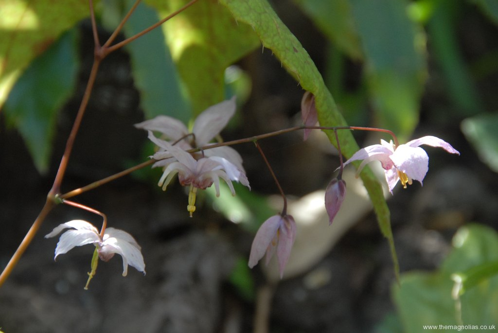 Epimedium \'Enchantress\'
