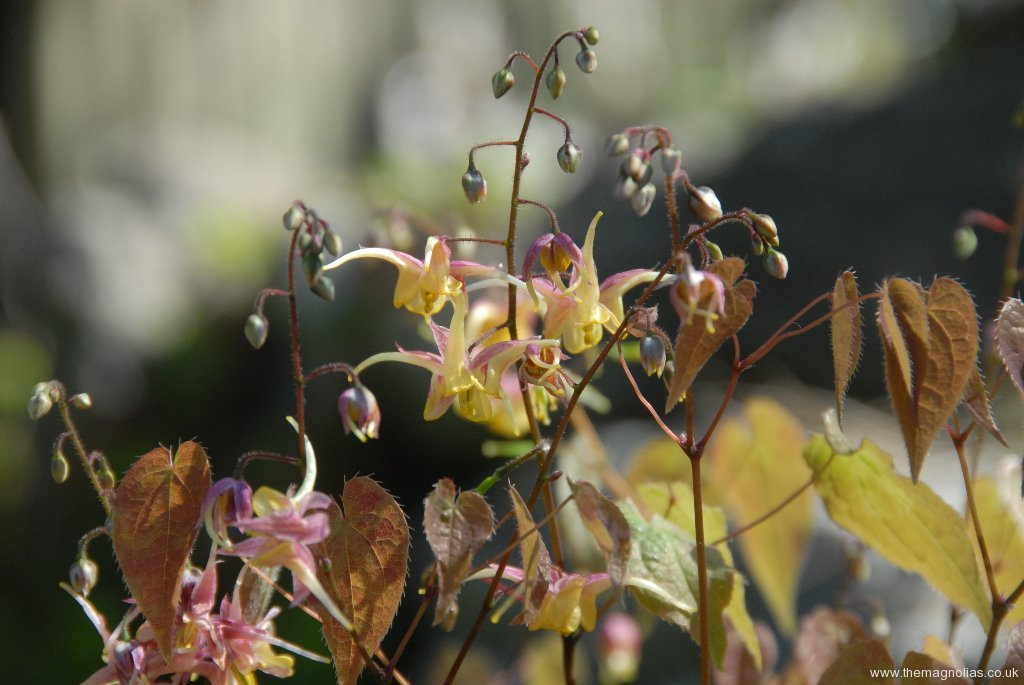 Epimedium \'Fire Dragon\'