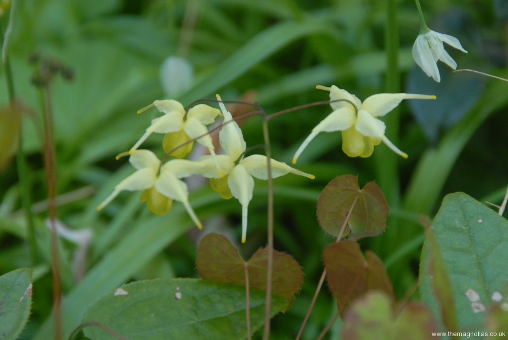 Epimedium \'Flowers of Sulphur\'
