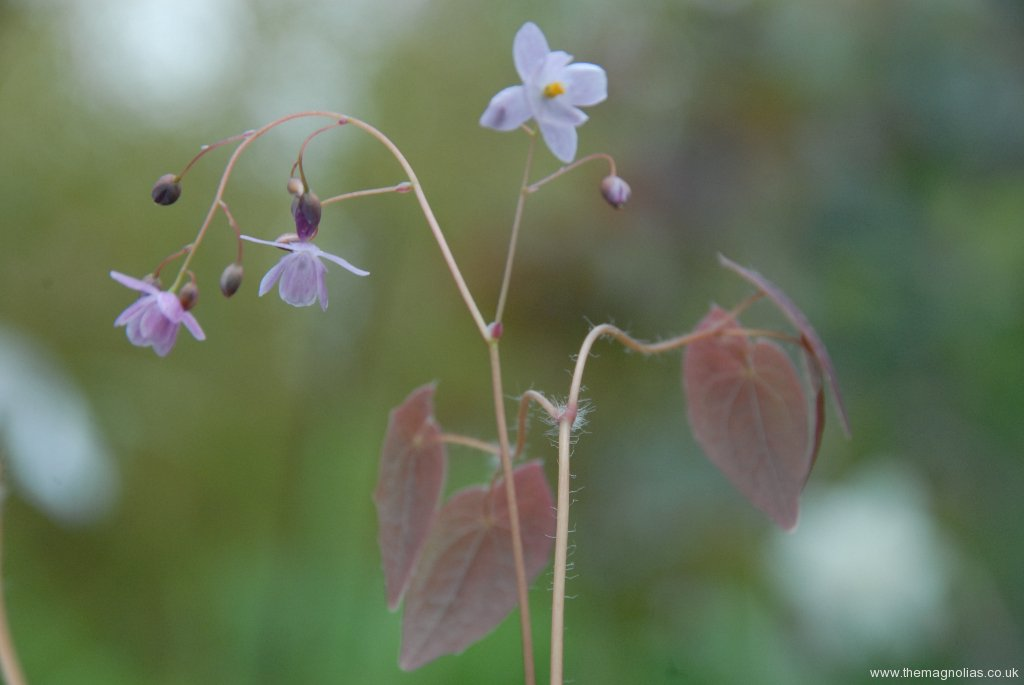 Epimedium 'Mine No Fubuki'