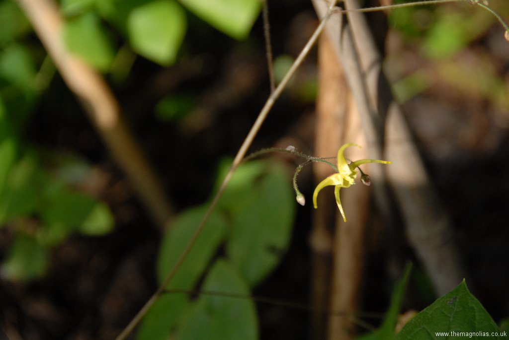 Epimedium reticulatum from Edrum Nursery