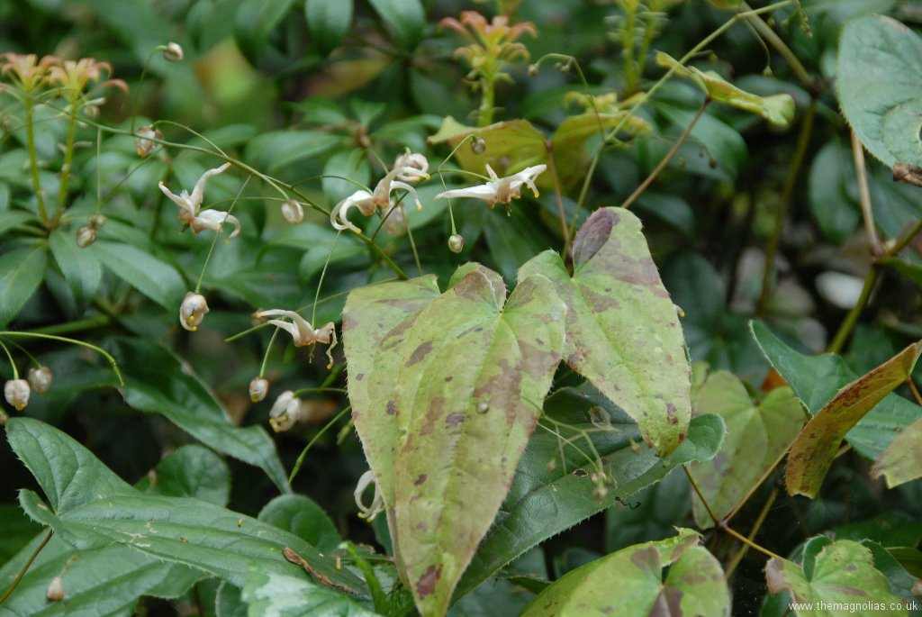 Epimedium Species from Chen Yi, possibly E. acuminatum