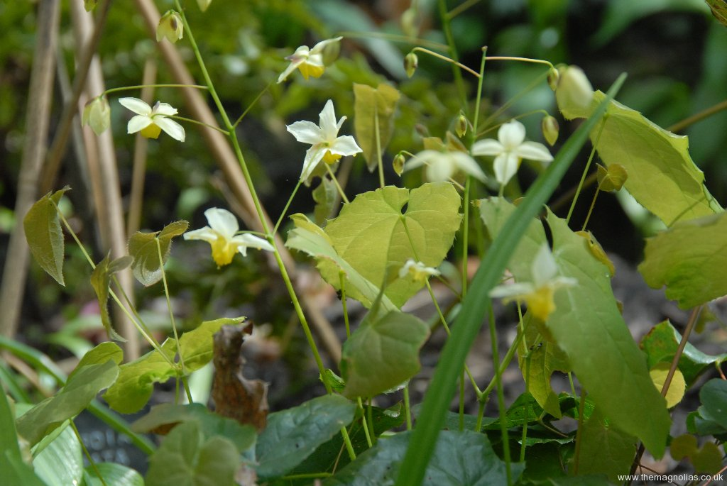 Epimedium 'Totnes Turbo'