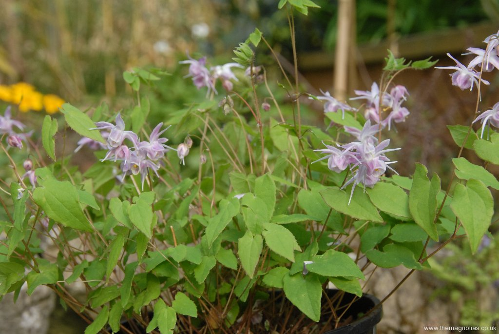 Epimedium var. bought as \'Starcloud\'