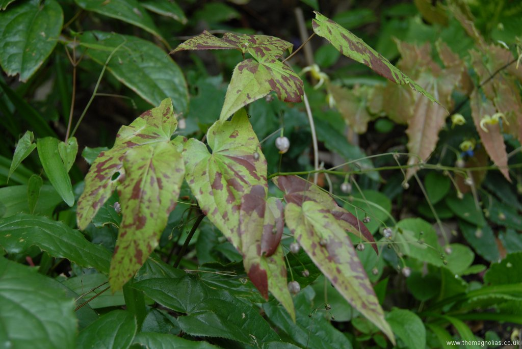 Epimedium x omeiense 'Pale Fire Sibling'