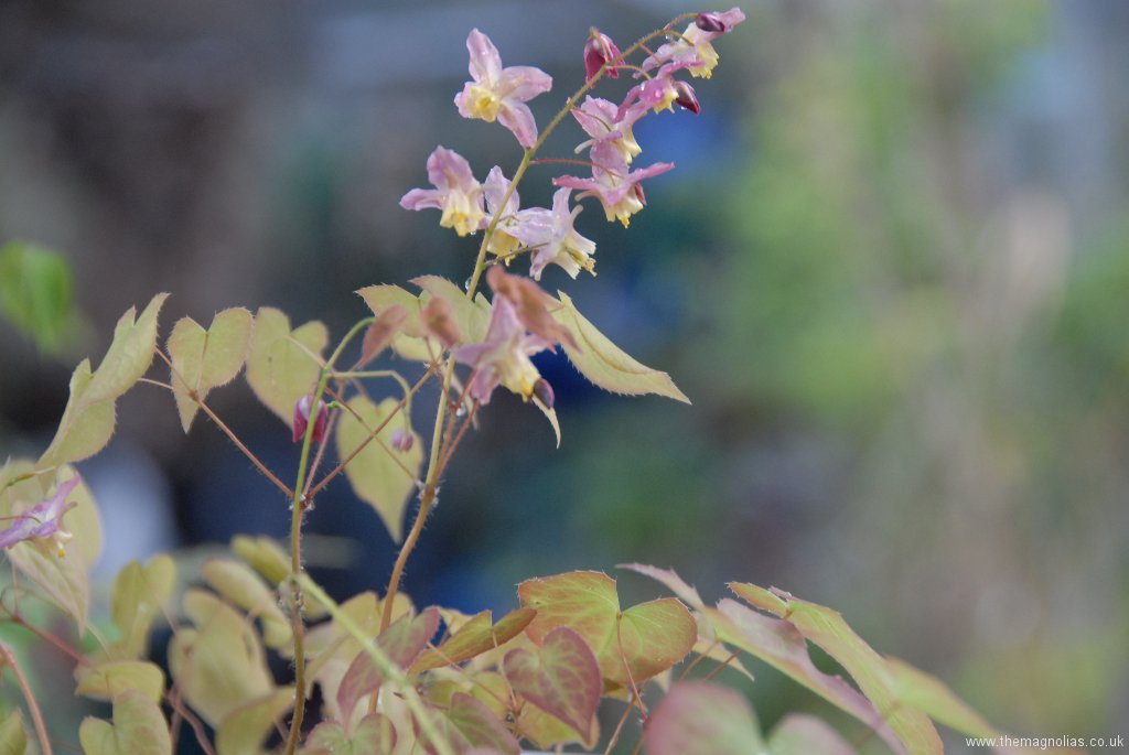 Epimedium x versicolor 'Cupreum' (bought as, but doesn't show much copper colouration)