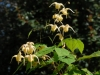 Epimedium 'Buff Beauty'