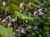 Epimedium Chinese unknown No 7