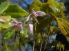 Epimedium Chinese unknown No 9