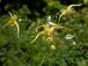 Epimedium 'Lemon Meringue Pie''